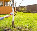 Whitewashing of fruit trees in spring. Care of the garden. Hand with a brush paints a tree to protect it from harmful insects Royalty Free Stock Photo