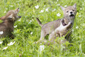 Who can yell louder three coyote pups yelping in a field in the springtime Stock Photography