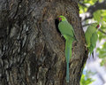 Who has your back rose ringed parakeets psittacula krameri raiding a mynah bird nest Stock Photo