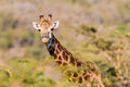 Who are you giraffe alert wildlife giraffes head and ear above the acacia trees looking at camera lens upon hearing a vehicles in Stock Image