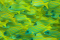 Whole frame of shoal of Bluestripe snapper fish Stock Photos