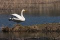 Whooper standing on one leg the swan Royalty Free Stock Photos