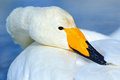 Whooper Swan, Cygnus cygnus, detail bill portrait of bird with black and yellow beak, Hokkaido, Japan Royalty Free Stock Photo