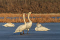 Whooper swan cygnus cygnus on lake location comana natural park romania Stock Photography
