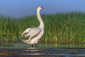 Whooper swan cygnus cygnus on lake location comana natural park romania Royalty Free Stock Images