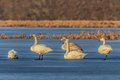 Whooper swan cygnus cygnus on lake location comana natural park romania Royalty Free Stock Photography