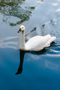 Whooper swan cygnus cygnus on a pond Stock Images