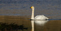 Whooper swan a cygnus cygnus on a scottish loch Royalty Free Stock Photography
