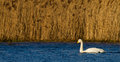 Whooper swan cygnus cygnus a wild icelandic on a loch in scotland Stock Photography