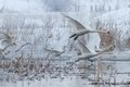 Whooper swan cygnus cygnus in winter flight location comana natural park romania Stock Photo