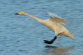 Whooper swan in flight icelandic cygnus cygnus coming to land on water scotland during its winter migration Stock Photography
