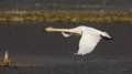 Whooper swan in flight icelandic cygnus cygnus flying over water scotland during its winter migration Stock Photography