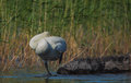 Whooper swan resting on a rock Royalty Free Stock Images