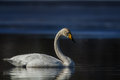 Whooper swan a swimming on the edge of the ice in springf Royalty Free Stock Photography
