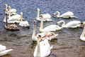 Whooper Swans swim on the shore of the reservoir in Belarus Minsk, the Minsk sea. Royalty Free Stock Photo