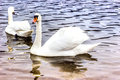 Whooper Swans swims near the shore of the reservoir in Belarus Royalty Free Stock Photo