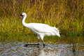 Whooping Crane 1 Royalty Free Stock Photo