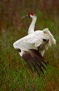 Whooping Crane Stretch Royalty Free Stock Images