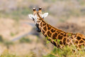 Whos coming giraffe alert wildlife giraffes head and ear for danger above the acacia trees looking down the valley road hearing Royalty Free Stock Images
