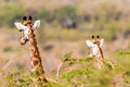 Whos coming giraffes alert wildlife heads and ears above the acacia trees to see looking down the valley hearing vehicles in the Stock Images