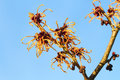 Wich hazel orange colored with a clear blue sky Stock Photo