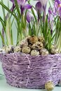 Wicker basket with crocuses. It contains quail eggs. Getting ready for Easter. On a green background