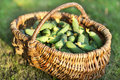Wicker basket with fresh cucumbers on a background of grass Stock Photography