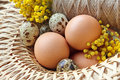 Wicker basket full brown quail free range eggs Stock Photos