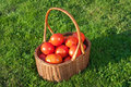 Wicker basket full of fresh tomatoes ecological red from polish Royalty Free Stock Photography