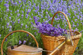 Wicker basket with lavender and a copper watering can freshly harvested an old in front of field in summer Stock Photo