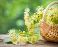 Wicker basket with lime flowers. Royalty Free Stock Photo