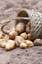 Wicker basket with organics potatoes in a garden Stock Images