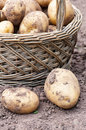 Wicker basket with organics potatoes in a garden Royalty Free Stock Photo