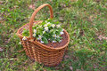 Wicker basket with white flowers Royalty Free Stock Photography