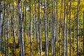 Wide angle aspen grove fish eye perceptive of along kebler pass in colorado near crested butte Stock Images