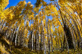 Wide angle aspen grove fish eye perceptive of along kebler pass in colorado near crested butte Royalty Free Stock Image