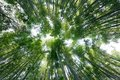 Wide angle bamboo forest Royalty Free Stock Image