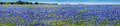 A wide angle high resolution panoramic view of a beautiful field of the famous texas bluebonnet with clear skies Royalty Free Stock Photos