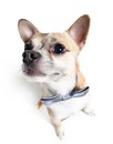 Wide angle shot of chihuahua doggy sitting with grey bow tie isolated on white Royalty Free Stock Photography
