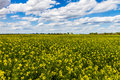 Wide Angle Shot of a Field of Bright Yellow Flowering Canola (Rapeseed) Plants Growing on a Farm in Oklahoma