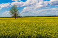 Wide Angle Shot of a Field of Yellow Flowering Canola Plants Growing on a Farm in Oklahoma  With  A Tree Royalty Free Stock Photo