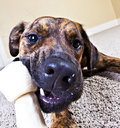 Wide-angle shot of a puppy chewing on a bone Royalty Free Stock Photo