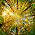 Wide angle upwards view in a forest in autumn Royalty Free Stock Photo