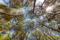 Wide angle view of pine trees with blue sky Stock Photo