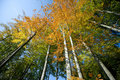 Wide autumn trees Stock Photography