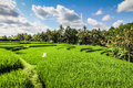 Wide green rice terraces - Bali, Indonesia Royalty Free Stock Photo