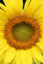 Wide open sunflower closeup Royalty Free Stock Photo