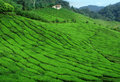 Wide tea plantation Stock Images