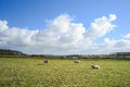 Wide view on Dutch landscape with sheep, meadow and cloudy skies Royalty Free Stock Photo