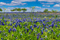 A Wide View of a Field Blanketed with the Famous Texas Bluebonnet Wildflowers With Other Wildflowers and Trees